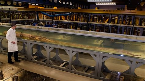 giant squid   deep sea  display natural