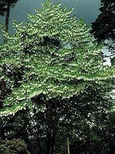 Arbre à Croissance Rapide Pour Ombre : arbre aux mouchoirs davidia involucrata le jardin du ~ Premium-room.com Idées de Décoration