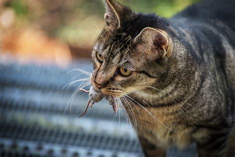 cat bring  dead animals perropet