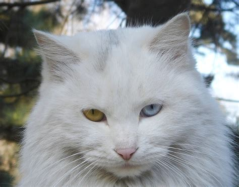 eyes cats persa different colored two gato cat persian why gatos kucing persia eye branco blanco breeds some imagenes hewan