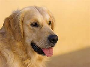 Golden Red River : all about golden retrievers ~ Orissabook.com Haus und Dekorationen