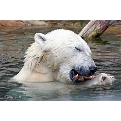 Polar Bear Ursus maritimus - Dawn's Brain