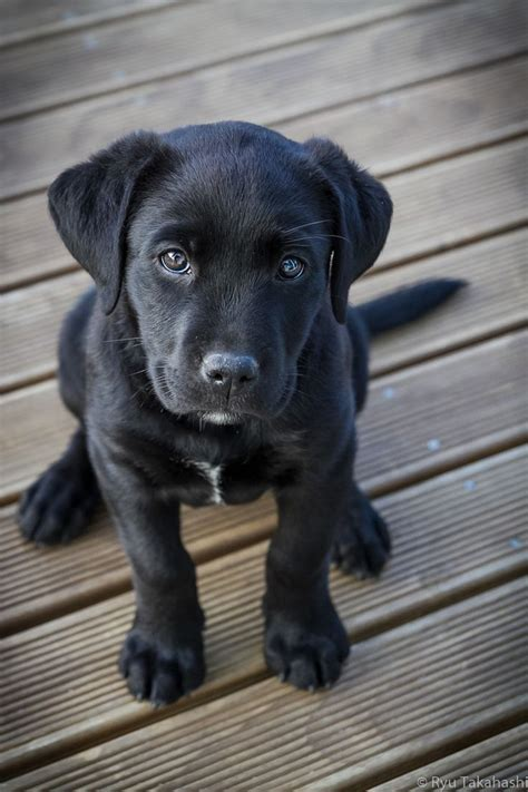 black lab puppies ideas  pinterest black labs