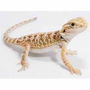 10 Facts about Bearded Dragons | Fact File