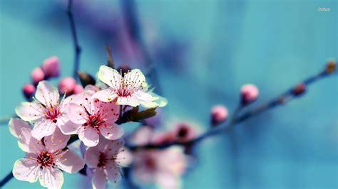 cherry blossoms wallpaper flower wallpapers