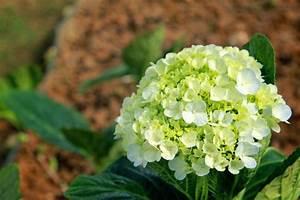 Welche Erde Für Hortensien : hortensien pflanzen pflegen schneiden und mehr ~ Eleganceandgraceweddings.com Haus und Dekorationen