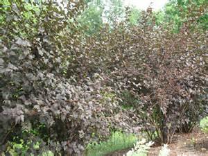 Physocarpus Diablo Ninebark
