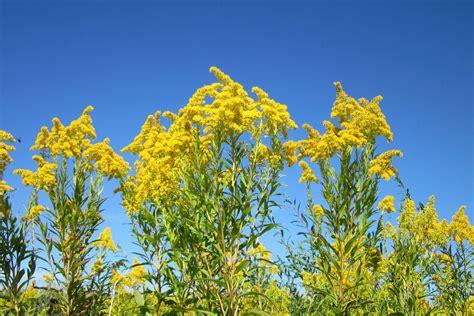 allergic  goldenrod