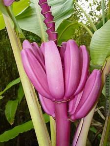 4 Royal Purple Banana Trees Kens Nursery