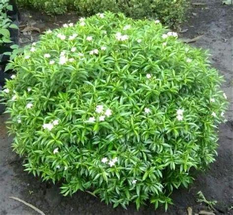 jual tanaman hias melati jakarta lapak hendra hendra