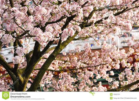 fiori di prugna fiori della prugna immagine stock immagine di prugna