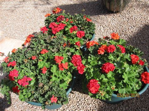 Specialty Gardening Arizona Container Plants In February