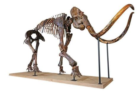 ancient skeleton  largest woolly mammoth  private