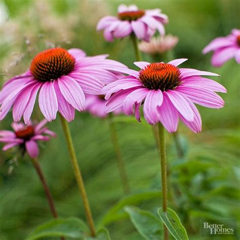 easy growing perennials easy to grow perennials hummingbirds summer and backyards