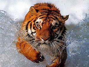 Animals: Tiger Wallpapers | Dangerous Animals