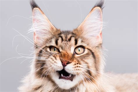 What Exactly Is A Cat Flehmen Response?
