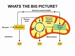 Krebs Cycle Mitochondria