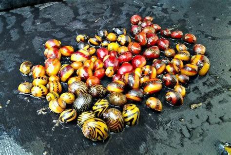ideas for a backsplash in kitchen nerite snail eggs type elephants