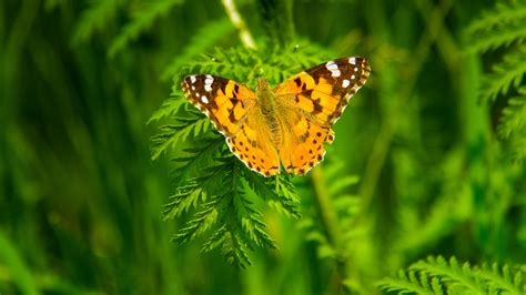 wallpaper butterfly  animals