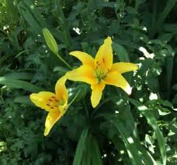 gelbe blumen bedeutung kostenloses foto zum thema gartenblume gelbe blumen gelbe lilie