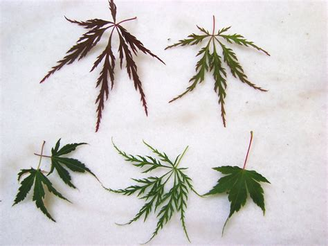 different maple tree leaves plantwerkz japanese maple acer palmatum