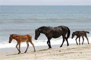 Wild Horses Outer Banks Corolla