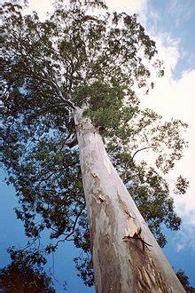 eucalyptus deanei wikipedia