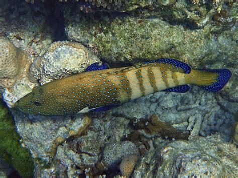 peacock grouper koh surin khad chong ao january