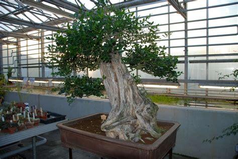 Botanischer Garten Wien Bonsai by Aus Fernost Nach B 246 Hmen 196 Ltester Bonsai Europas In