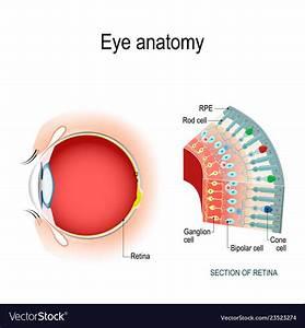 Retina Eye Anatomy Model