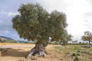 olivenbaum balkon der olivenbaum und seine wurzeln wissenswertes pflege