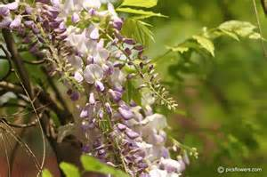 wisteria flower pictures images 199