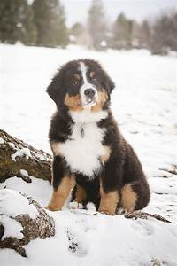 Puppy Love: Sullivan the Bernese Mountain Dog - Daily Dog ...