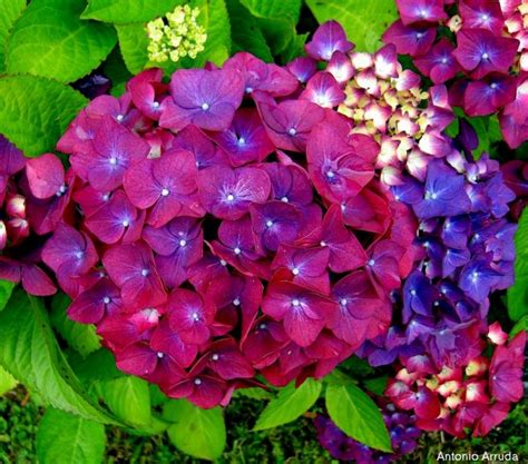 significato dei fiori ortensia il significato dei fiori ortensia l ortensia con i suoi