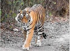 National Animal Of India, Indian National Animal, Indian
