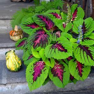 Buntnessel Pflanzen Kaufen Pflegeleichte Zimmerpflanzen Buntnessel