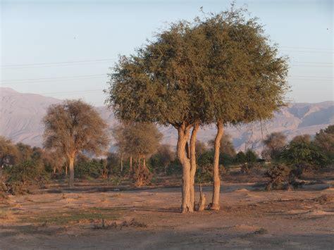 ghaf landscape  digdaga home   ghaf tree www