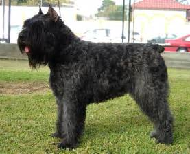 Bouvier De Flandres Dogs