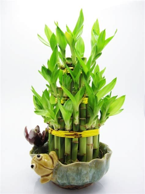 bureau virtuel ucl culture bambou en pot 28 images la culture du bambou