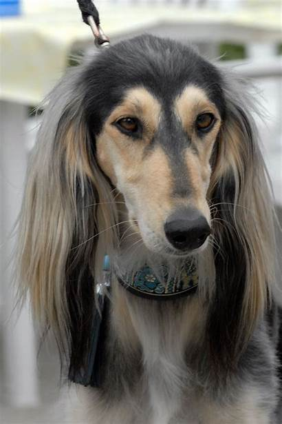Saluki Dog Face Dogs Clipart Mascot Mean