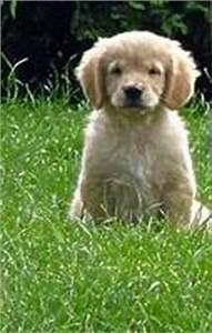 Wie Alt Werden Golden Retriever : tierforum hundeinserat 44432 rottweiler hunde welpen tierinserate bitte l schen ~ Eleganceandgraceweddings.com Haus und Dekorationen