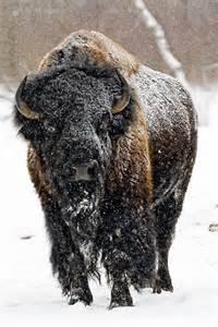 Bison American Buffalo Winter