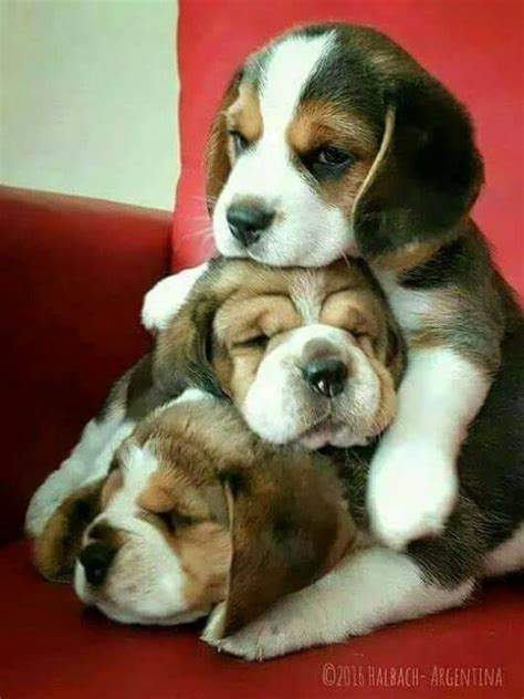 adoptable beagle ideas  pinterest dogs