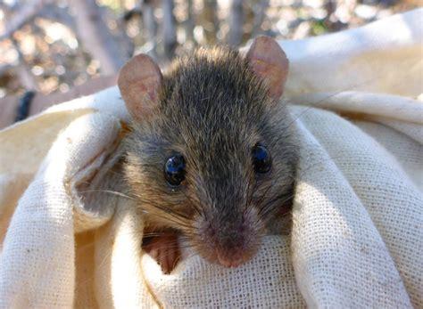 extinction   bramble cay melomys highlights australia