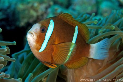 undescribed clownfish   great barrier