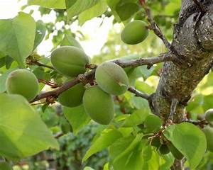 Apricot tree - growing, caring for and harvesting juicy ...
