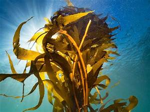 Giant Kelp  Kelp Forest  Plants  U0026 Algae  Macrocystis