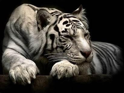 Tiger Wallpapers Animal Cool Siberian Down Animals