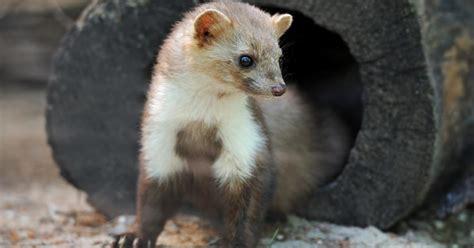 eichhörnchen kot bilder kot vom marder trittsiegel und andere tierspuren wolf fuchs b r luchs marder dachs maus eichh