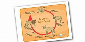 Life Cycle Of A Lion Diagram